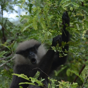 A new approach to conservation in Sri Lanka: The case of the Western Purple Faced Langur