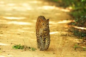 In the field with Sri Lanka's pioneering leopardresearchers