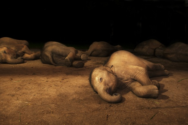 Baby elephants asleep (Vijitha Perera)
