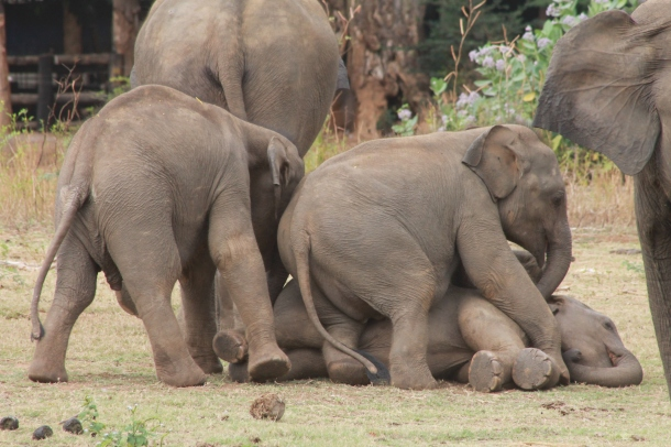 Baby elephants at play (Vijitha Perera)