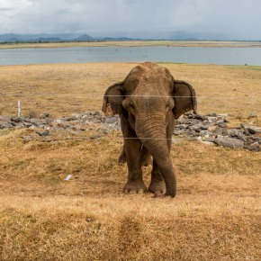 With elephants and humans in conflict, Sri Lanka looks for new solutions