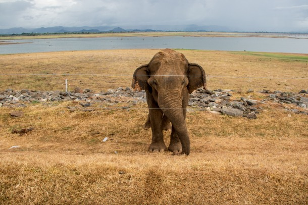 Elephant by the fence in Udawalawe (Smriti Daniel)